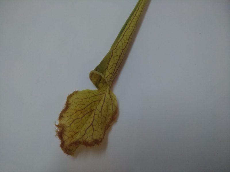 Sarracenia 53cm Verde