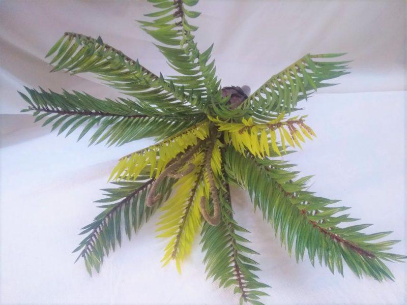 Palmier Cycas 30cm -