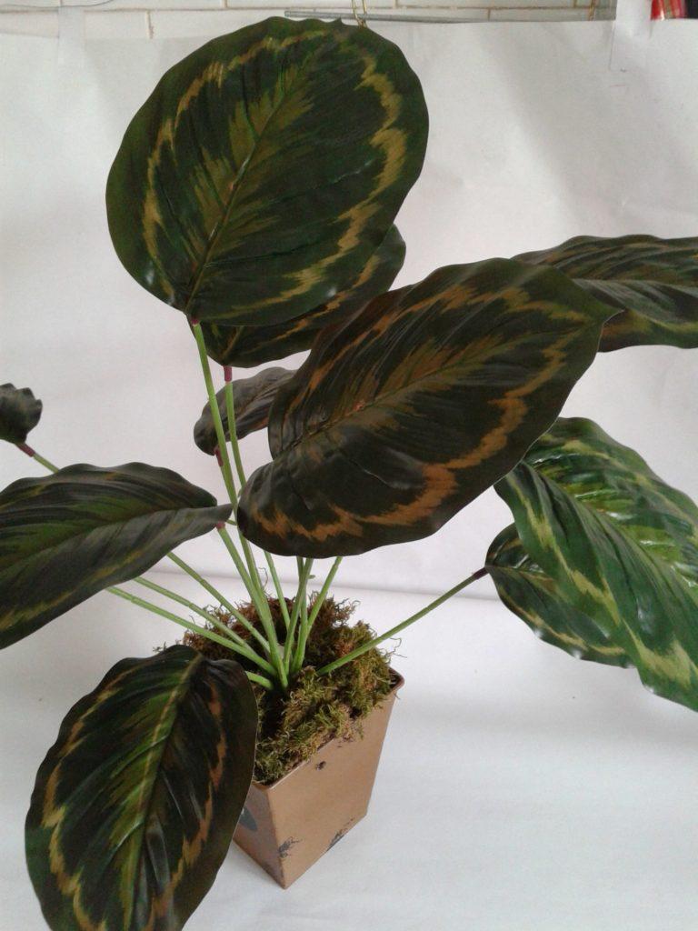 Calathea 12 frunze -
