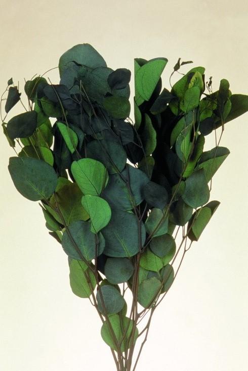 Eukalypt cu frunze rotunde