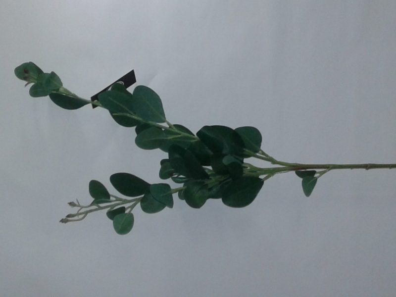 Eucalipt frunze