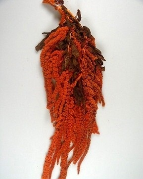 Amarantus caudatus -
