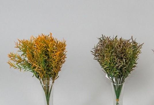 Asparagus 25cm