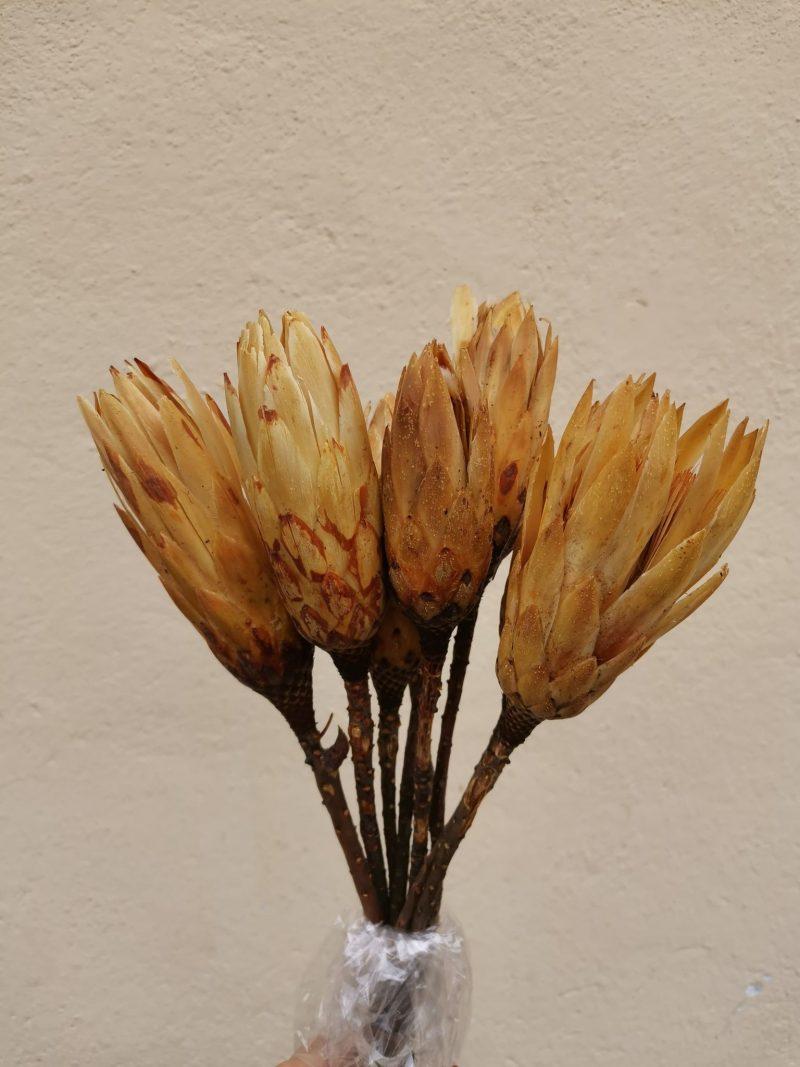 Protea 9buc
