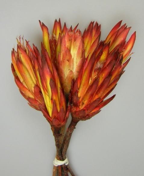 Protea rosie