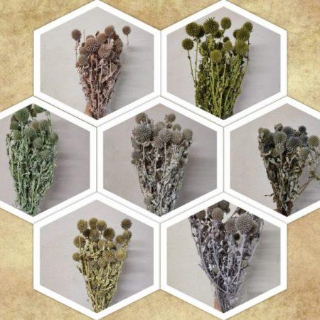 Echinops 8-10
