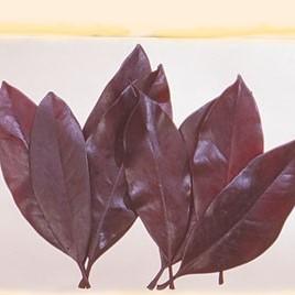 Frunze magnolie -