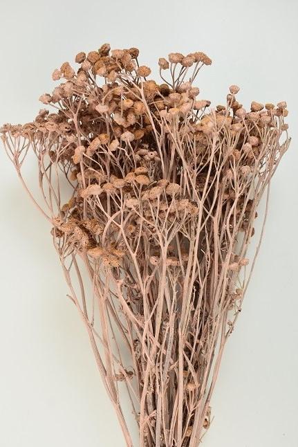 Tanacetum vulgare -
