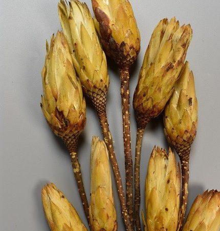 Protea galben natur 9 buc