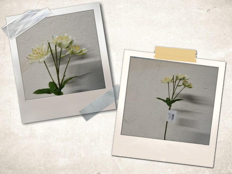 Astrantia 5 flori