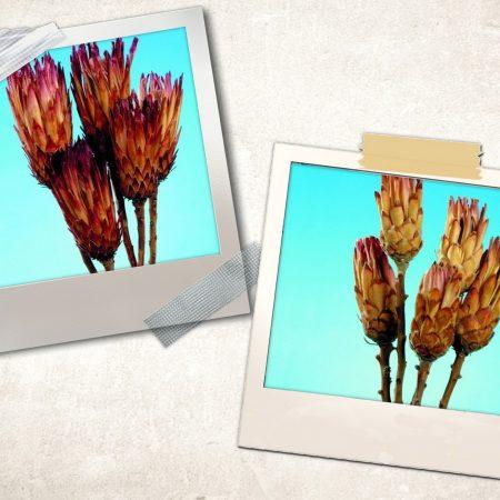 Protea natur