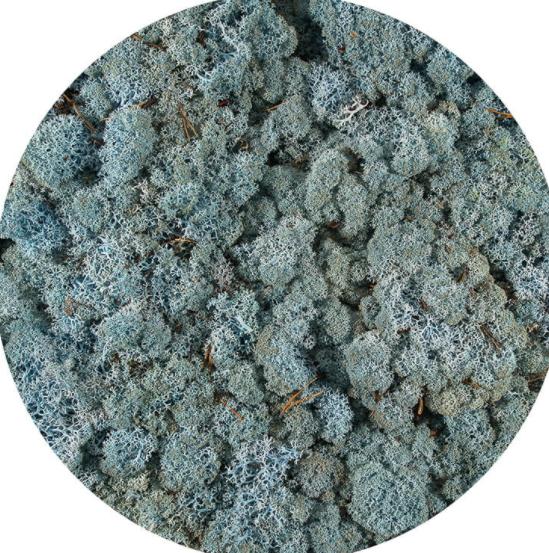 Licheni Norvegieni Ice Blue 59
