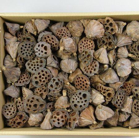 Lotus natur 4-6 cm