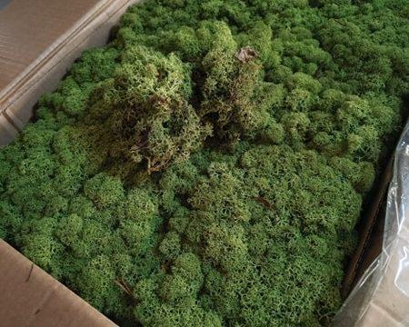 Licheni Norvegieni verde moss 54
