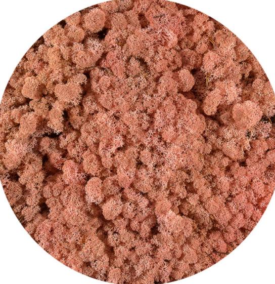 Licheni Norvegieni roz 62