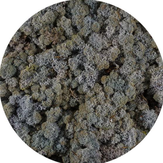 Licheni Norvegieni violet 71