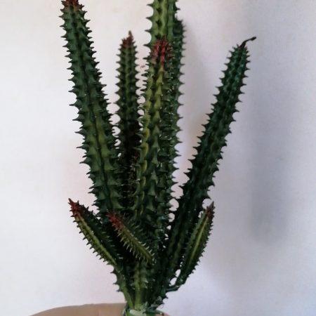 Cactus 25 cm