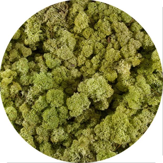 Licheni norvegieni verde old spring 64